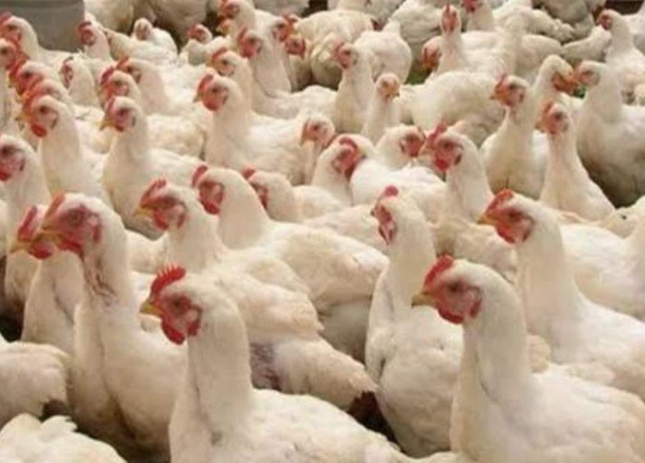 پشاور ہائیکورٹ نے چوزے، چکن اور گوشت کی برآمد پر عائد پابندی ہٹا دی